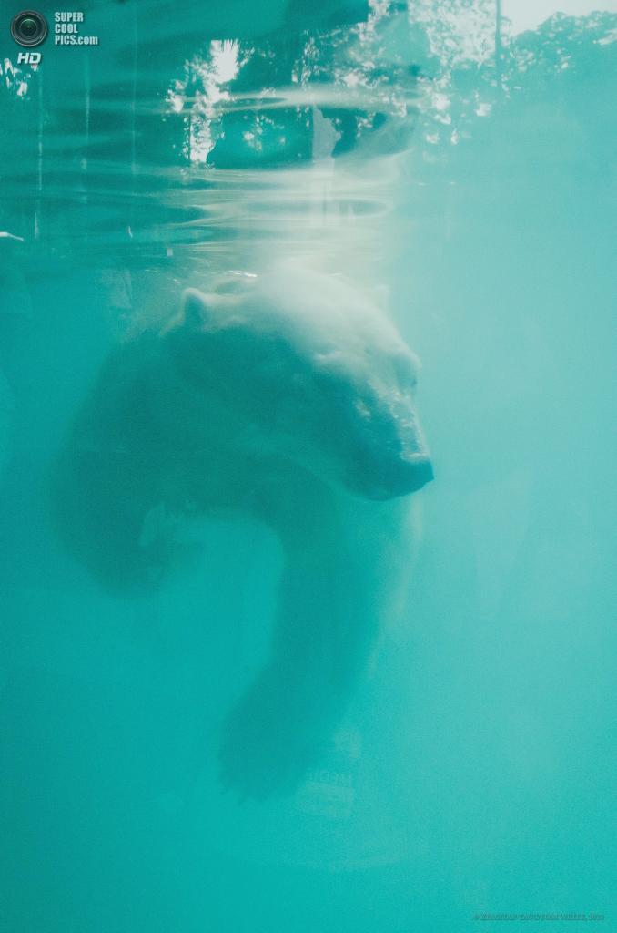 Сингапур. 29 мая. Белый медведь по кличке Инука в новом павильоне Сингапурского зоопарка. (EPA/ИТАР-ТАСС/TOM WHITE)