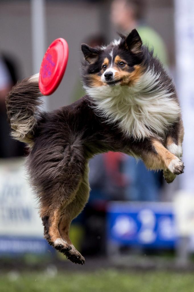 Собаки в полёте за фрисби (4 фото)