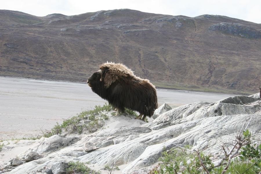 Овцебык в Кангерлуссуаке, Гренландия. (ilovegreenland)
