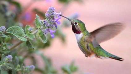Малютки-колибри (18 фото + 3 HD-видео)