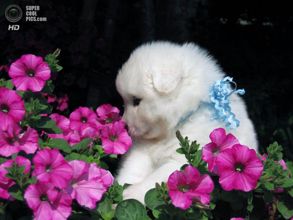 Самоедская собака. (GloriJean Harper)