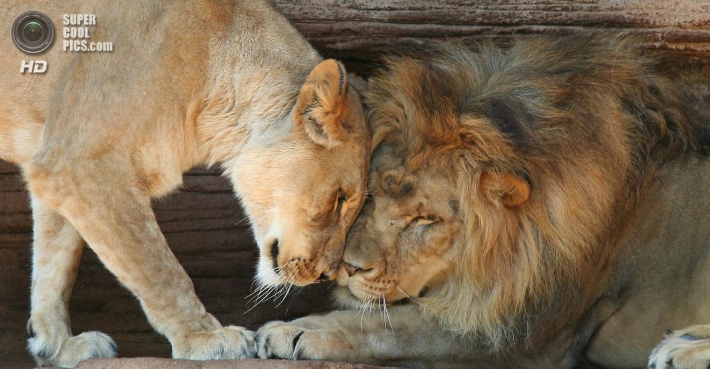 Львиная любовь. (Hillarie)