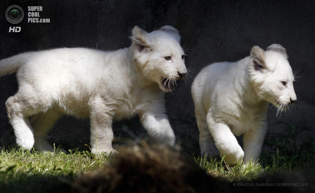 Нидерланды. Ренен. 6 июня. Новорожденные белые львята в зоопарке Аувехандс. (ИТАР-ТАСС/EPA/BAS CZERWINSKI)