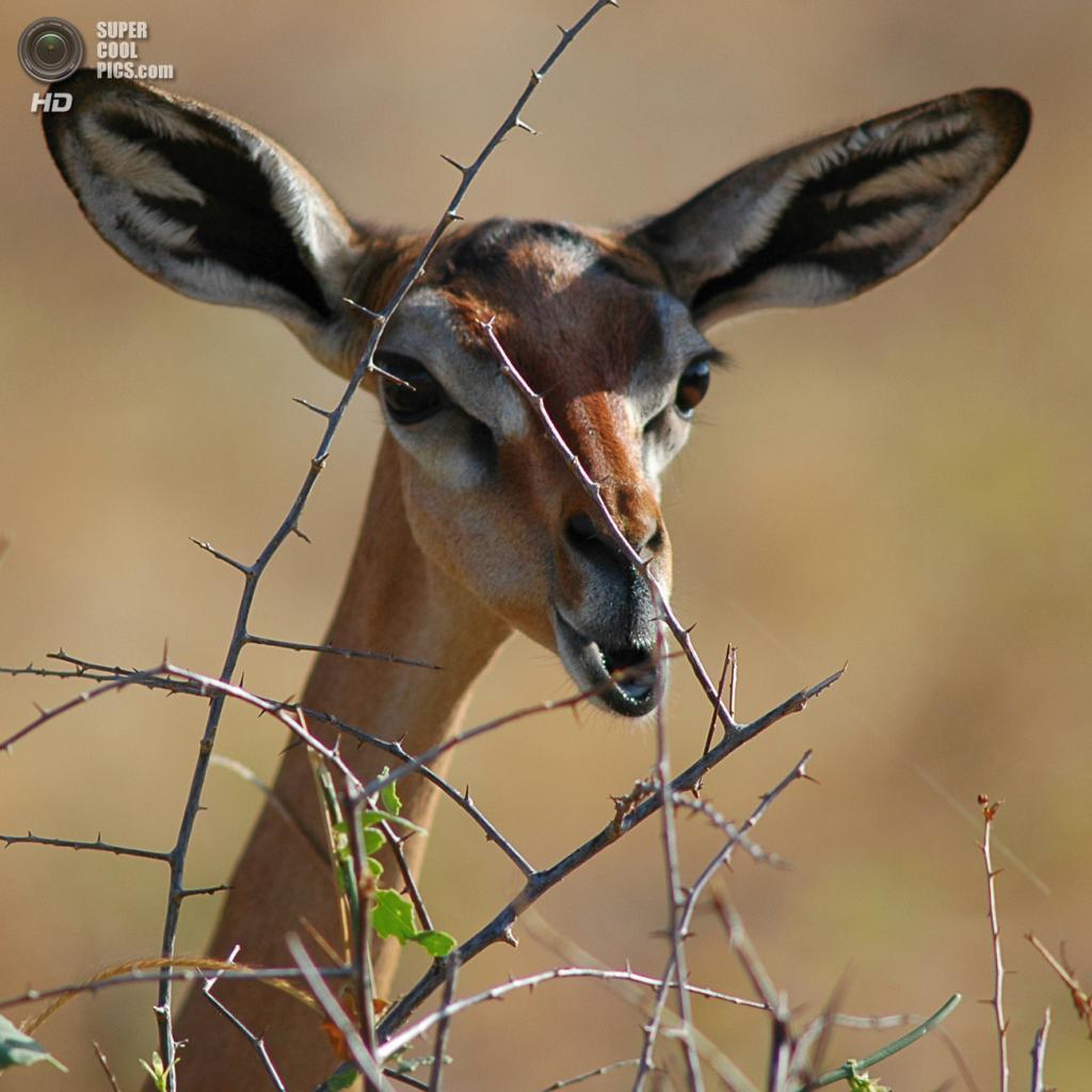 Геренук, или жирафовая газель из семейства настоящих антилоп. Данный вид может похвастаться длинной шеей и ногами. (Frédéric SALEIN)