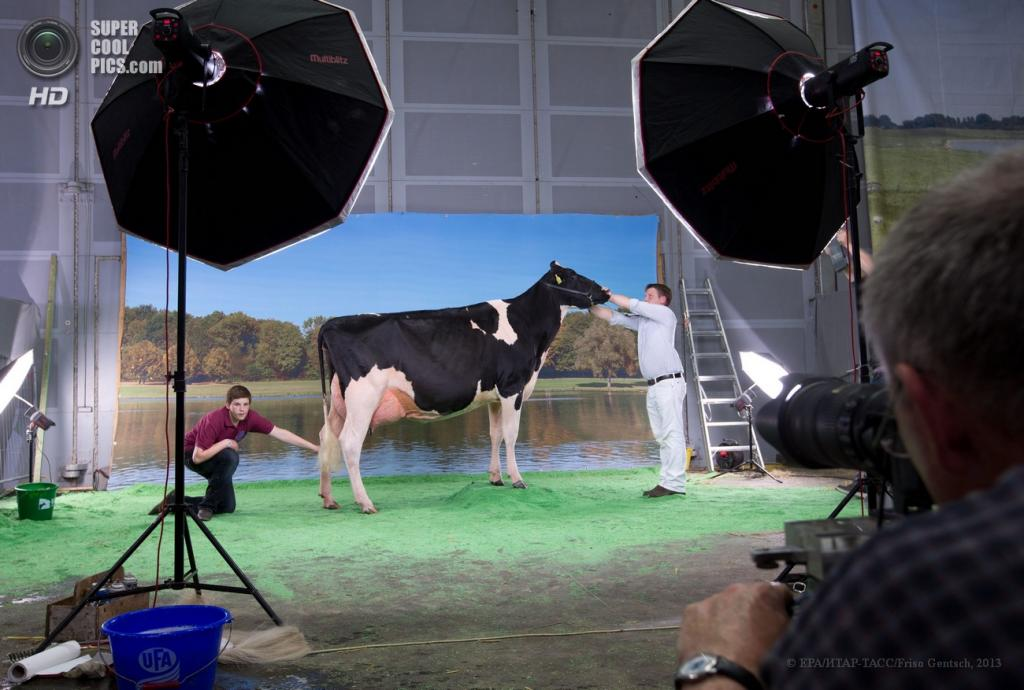 Германия. Ольденбург, Нижняя Саксония. 13 июня. Фотосессия участницы ежегодного конкурса красоты среди коров «Мисс Германия». (EPA/ИТАР-ТАСС/Friso Gentsch)