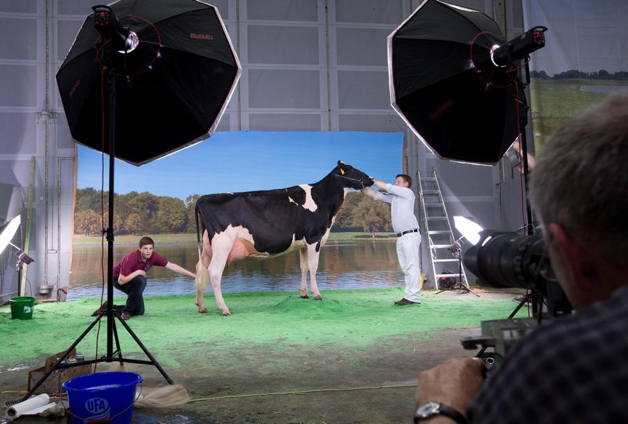 Конкурс красоты «Мисс Германия» среди коров (4 фото)