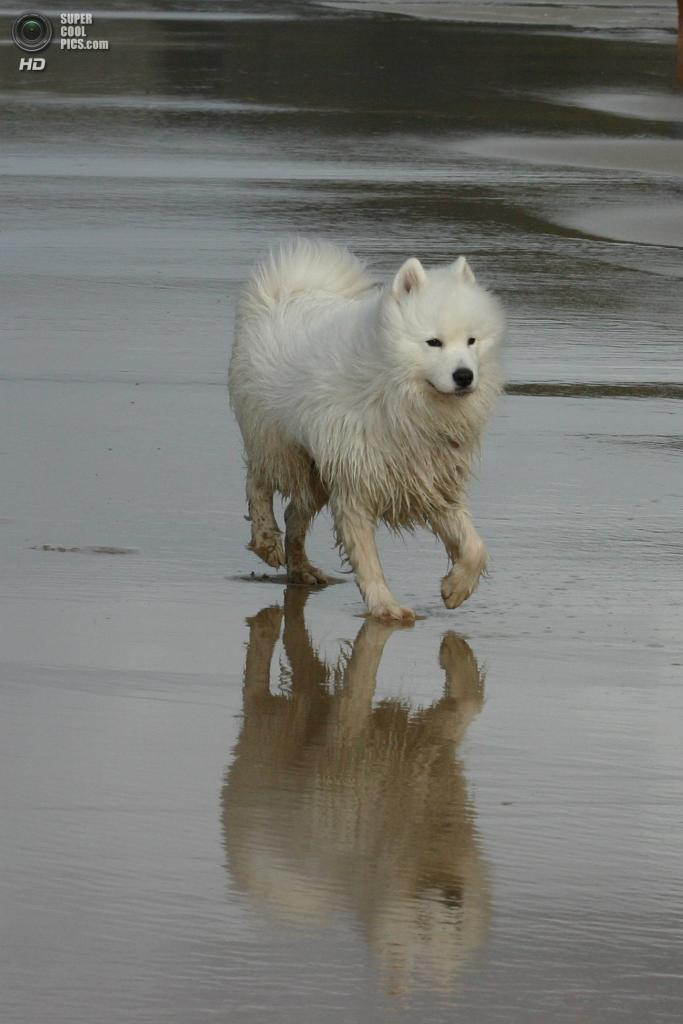 Самоедская собака. (Richard Mansfield)
