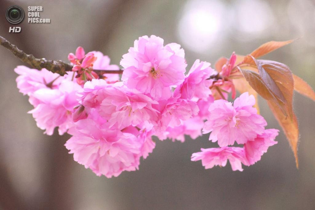 3 место. Сакура из семейства розовых. Растение является символом Японии. Во время цветения сакуры многие японцы совершают ритуал «ханами» («любование цветами»). (viajezdin738)
