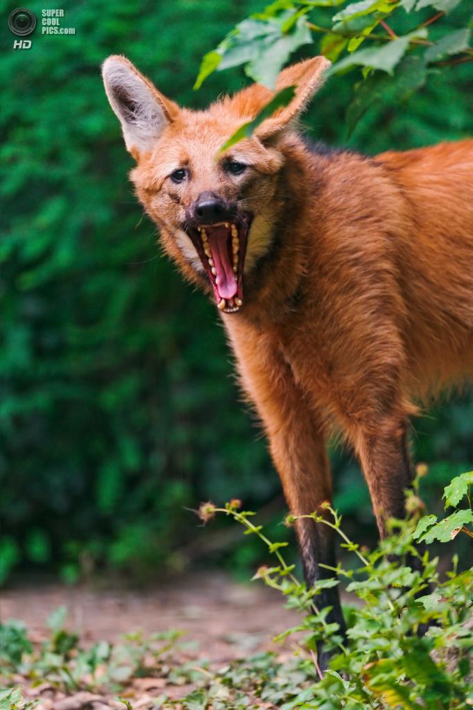 Гривистый волк, или гуара, агуарачай из семейства псовых. Данный вид может похвастаться длинными, стройными лапами. (Tambako The Jaguar)