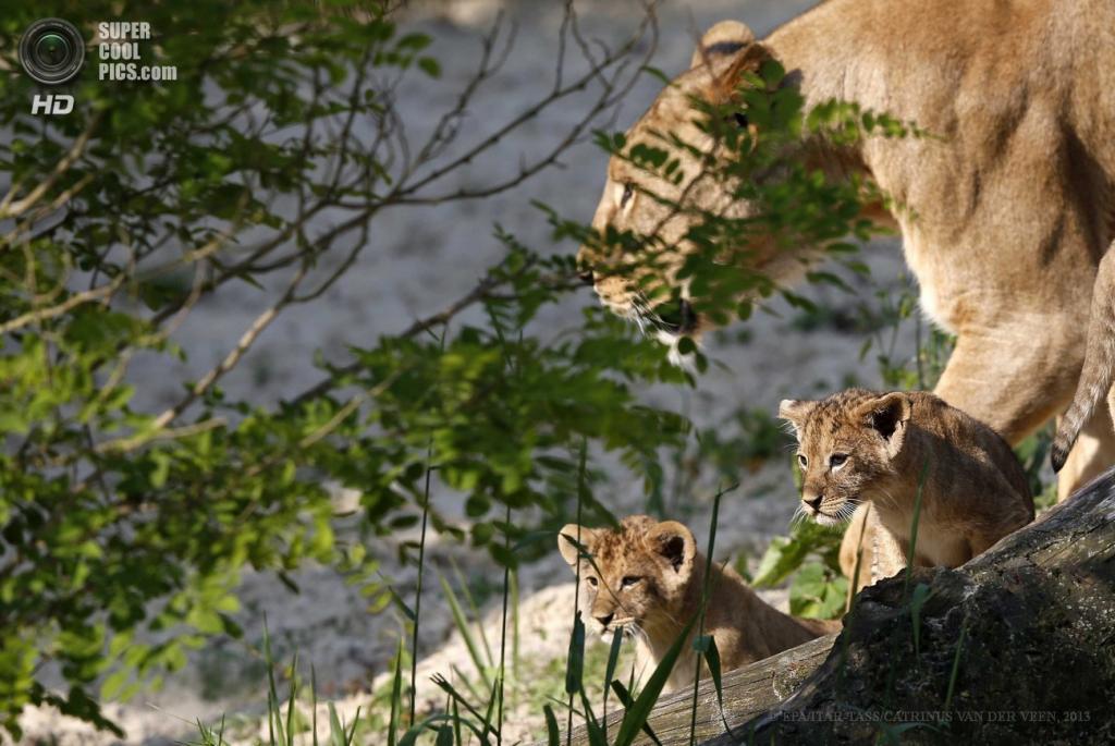 Нидерланды. Эммен, Дренте. 6 июня. Львиная семья в Эмменском зоопарке. (EPA/ITAR-TASS/CATRINUS VAN DER VEEN)