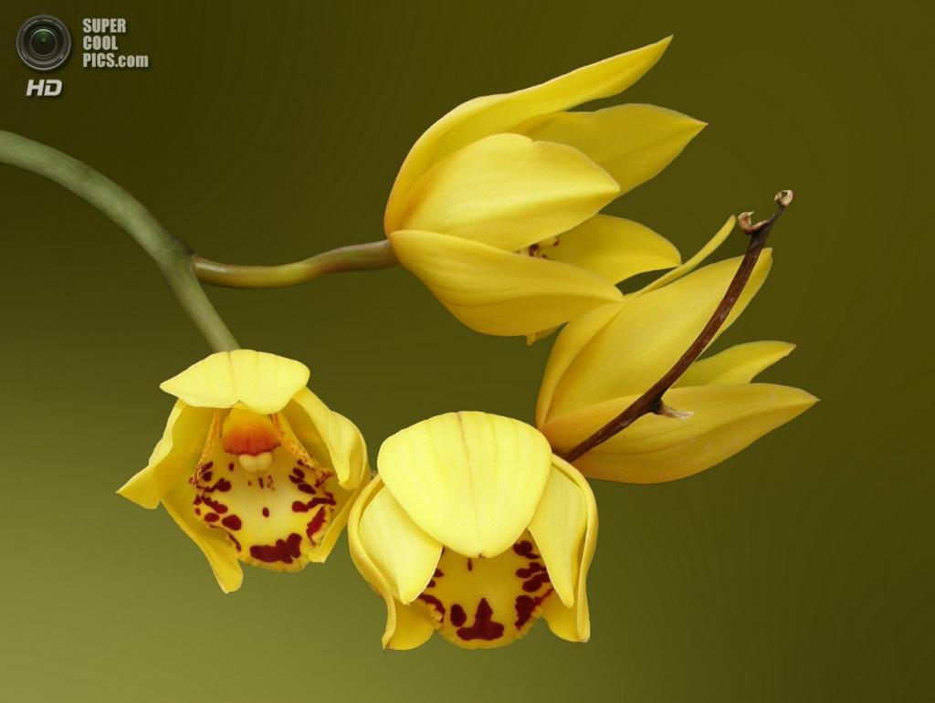 5 место. Орхидея. Название растения произошло от др.-греч. ὄρχις — «яичко». (borisdubman)