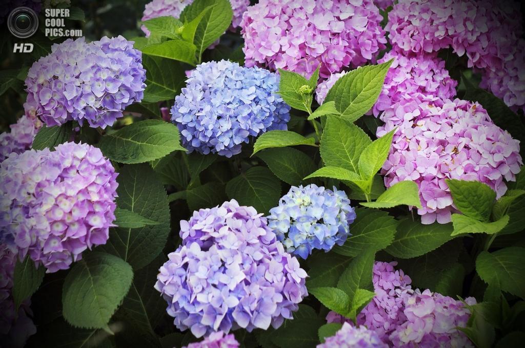 7 место. Гортензия. Растение было названо в честь сестры римского принца Карла-Генриха Нассау-Зигена принцессы Гортензии. (Лана)