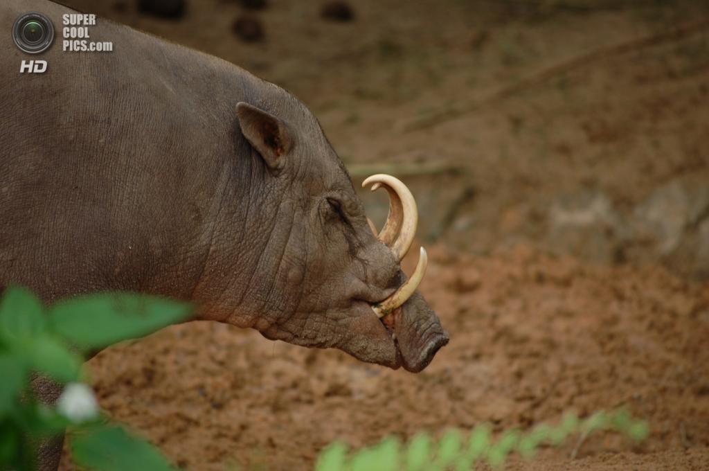Бабирусса из семейства свиней. В переводе с малайского «бабирусса» означает «свинья-олень». У самцов гипертрофированы и нижние, и верхние клыки, достигающие огромных размеров. (su-lin)