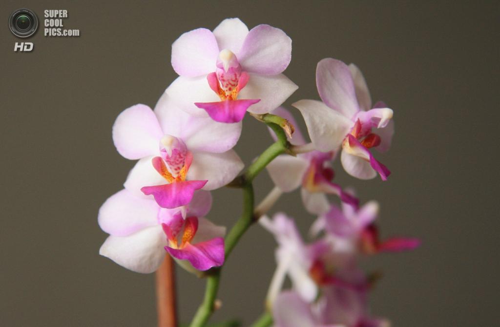 Doritaenopsis. Гибрид Doritis и Phalaenopsis. Происхождение: Юго-Восточная Азия. (Maja Dumat)