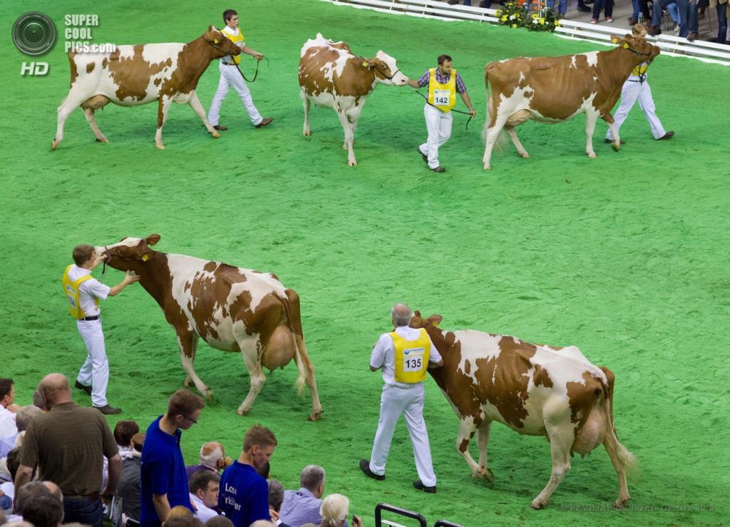 Германия. Ольденбург, Нижняя Саксония. 13 июня. Живоные дефилируют перед судьями во время ежегодного конкурса красоты среди коров «Мисс Германия». (EPA/ИТАР-ТАСС/Friso Gentsch)