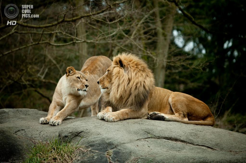 Львиная любовь. (Terence T.S. Tam)