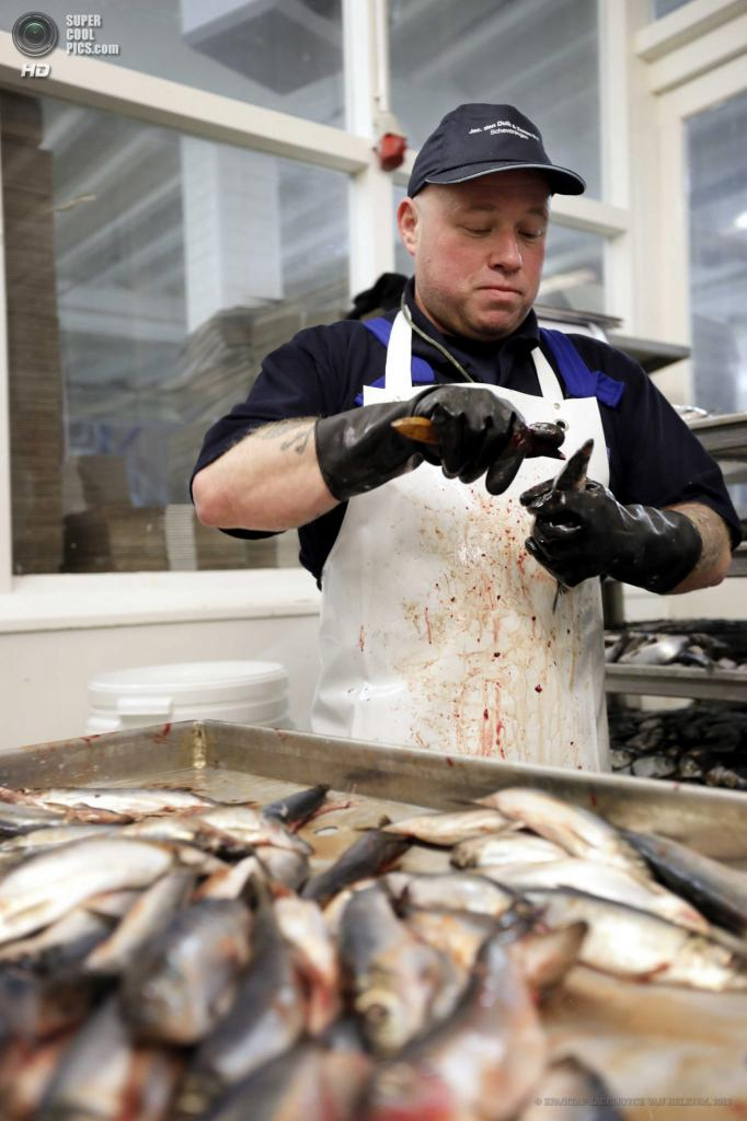 Нидерланды. Схевенинген. 17 июня. Работник потрошит сельдь. (EPA/ИТАР-ТАСС/JOYCE VAN BELKOM)