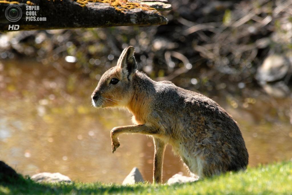 Мара, или патагонский заяц (также — патагонская свинка) из отряда грызунов. (Josh More)