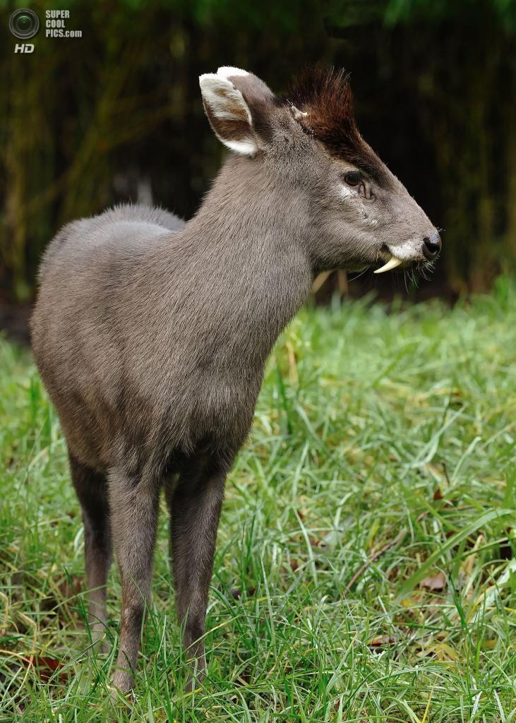 Хохлатый олень из подсемейства мунтжаковых. Самцы данного вида обладают выступающими изо рта длинными клыками, словно вампиры. (Heush)