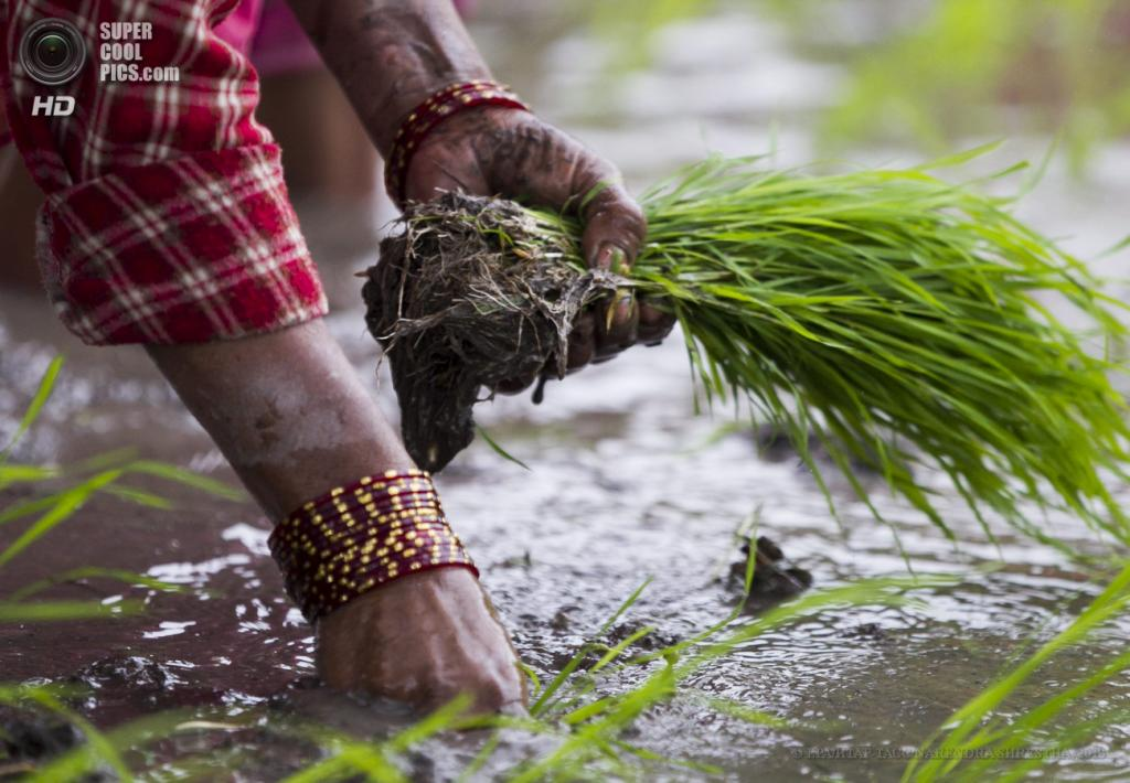 Непал. Катманду. 26 июня. Саженцы риса. (EPA/ИТАР-ТАСС/NARENDRA SHRESTHA)