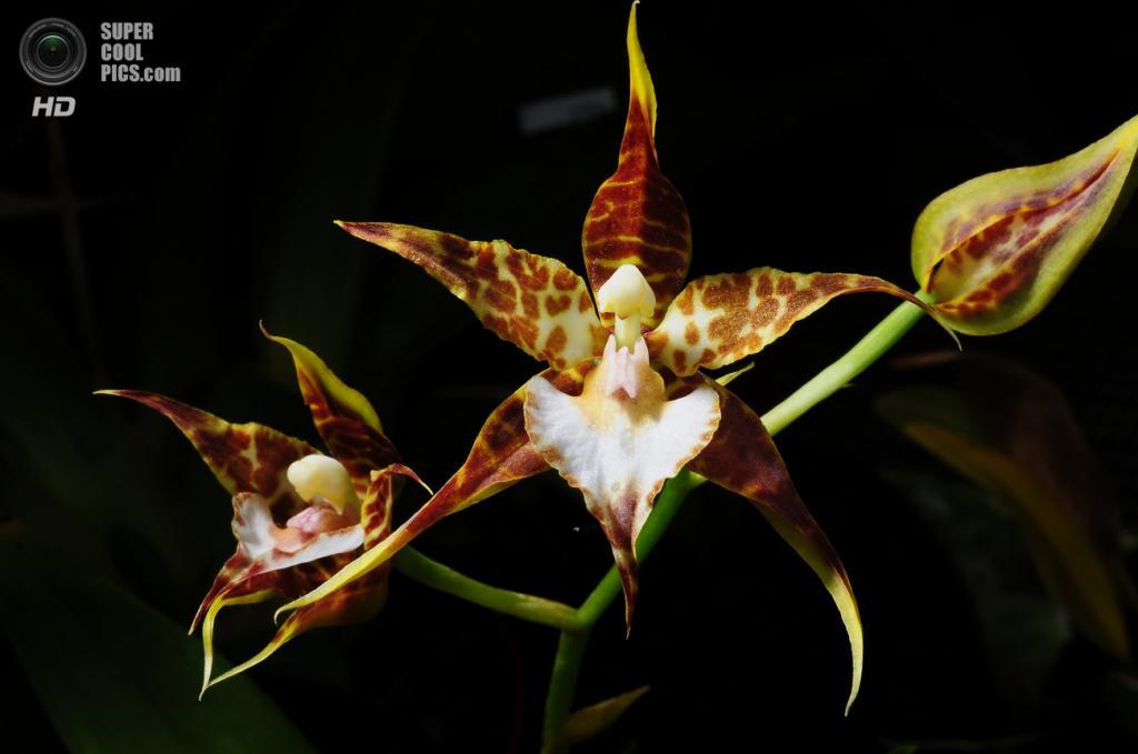 Odontoglossum cordatum. Происхождение: Мексика. (Nurelias)