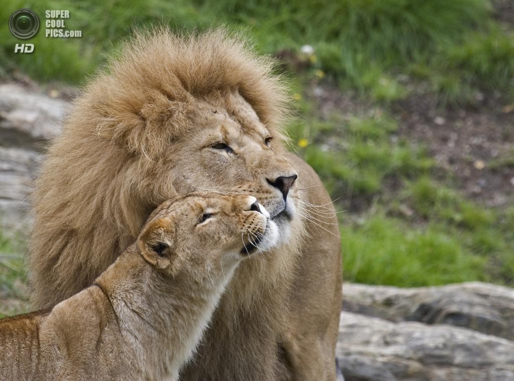 Львиная любовь. (Malabar.)