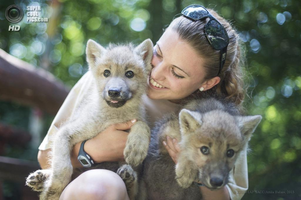 Венгрия. Ньиредьхаза. 20 июня. Детёныши мелвильского островного волка в зоопарке Ньиредьхазы. (EPA/ИТАР-ТАСС/Attila Balazs)