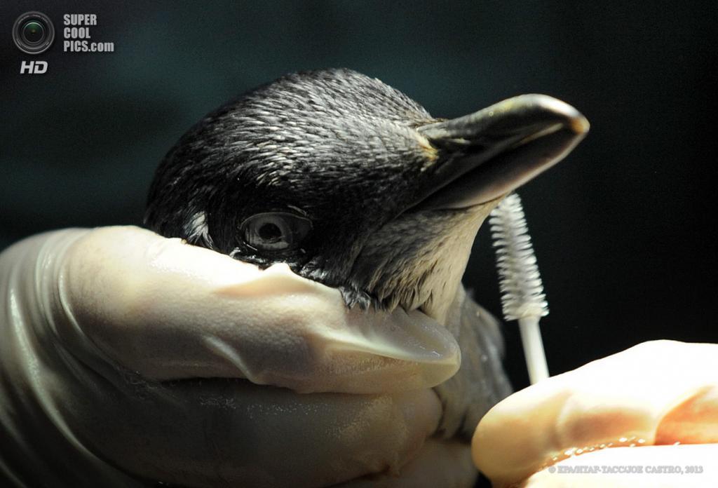 Австралия. Мельбурн. 26 июня. Сотрудники Мельбурнского зоопарка вычищают пингвина, попавшего в нефтяной разлив. (EPA/ИТАР-ТАСС/JOE CASTRO)
