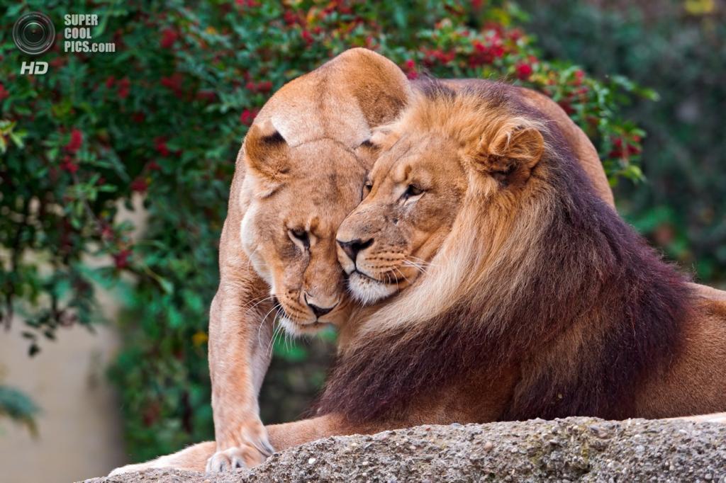 Львиная любовь. (Tambako the Jaguar)
