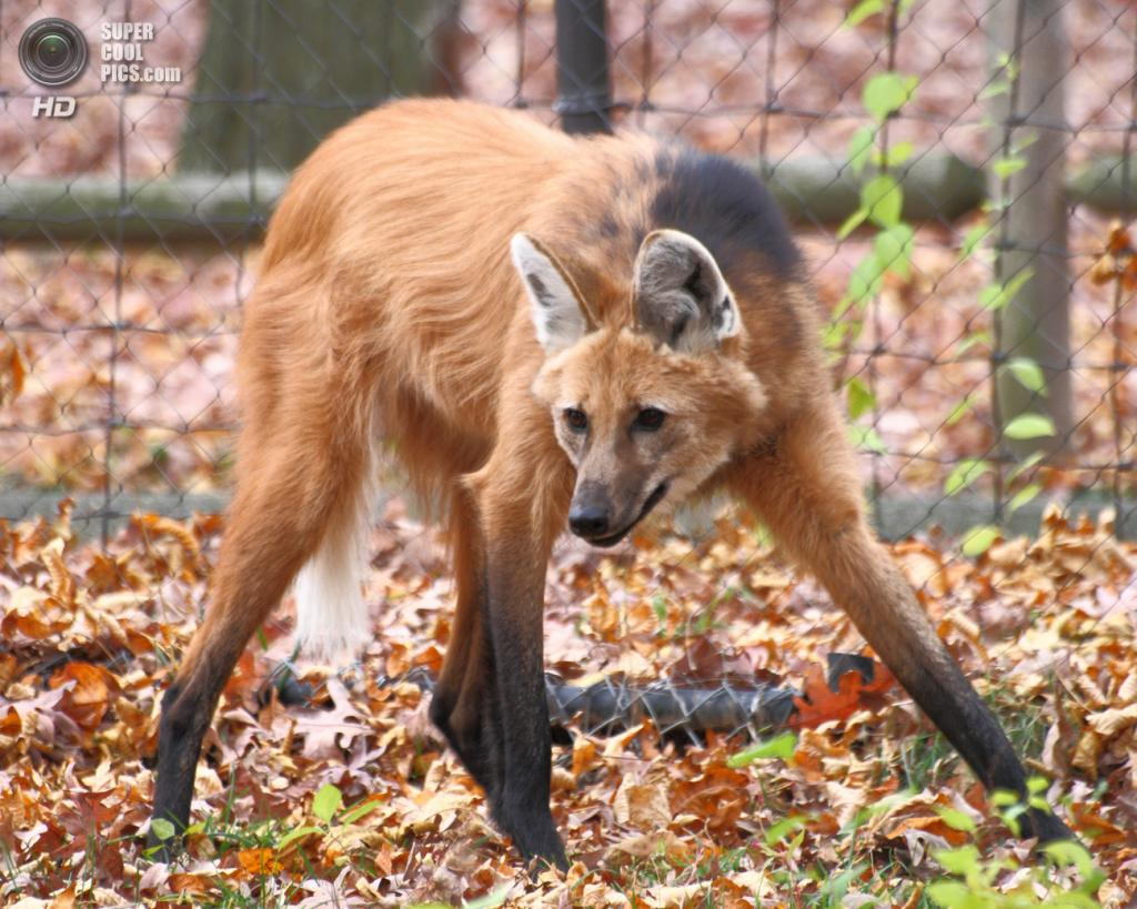 Несмотря на внешнее сходство с лисицами, гривистый волк не является их близким родственником. (Sage Ross)