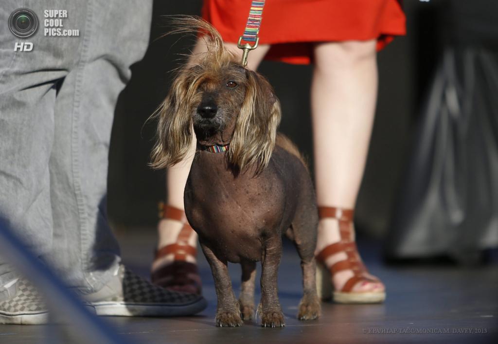 США. Петалума, Калифорния. 21 июня. Помесь китайской хохлатой собаки по кличке Изабу на юбилейном 25-м конкурсе уродливости World's Ugliest Dog Contest. (EPA/ИТАР-ТАСС/MONICA M. DAVEY)
