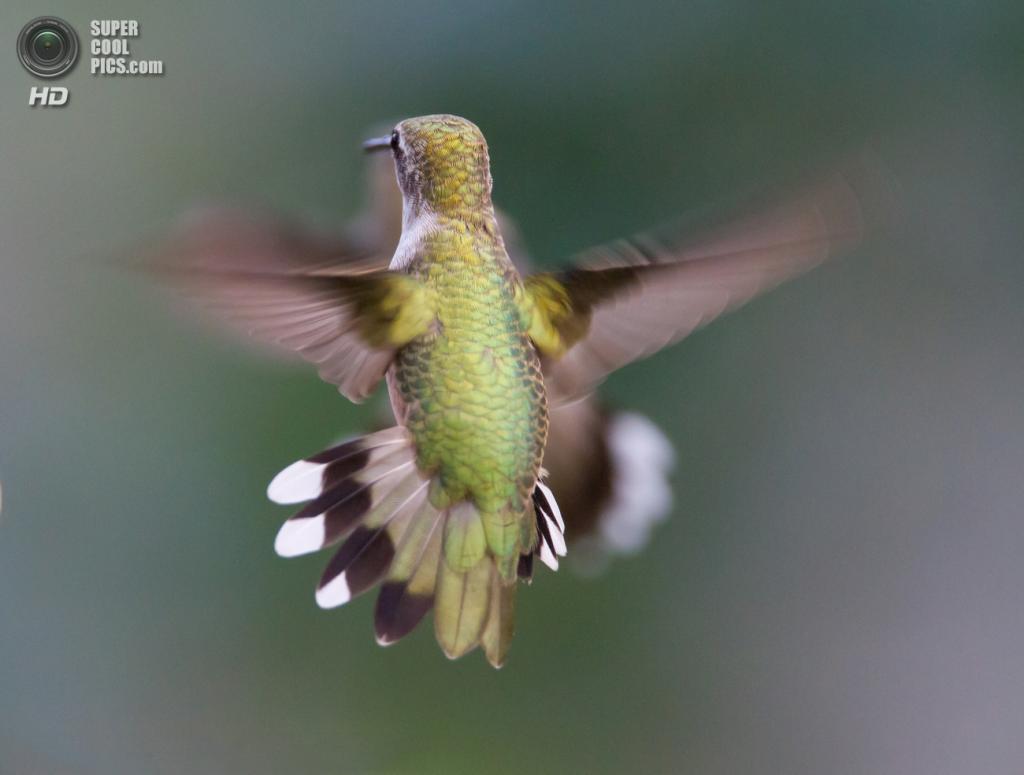 Колибри в полёте. (Dan Pancamo)