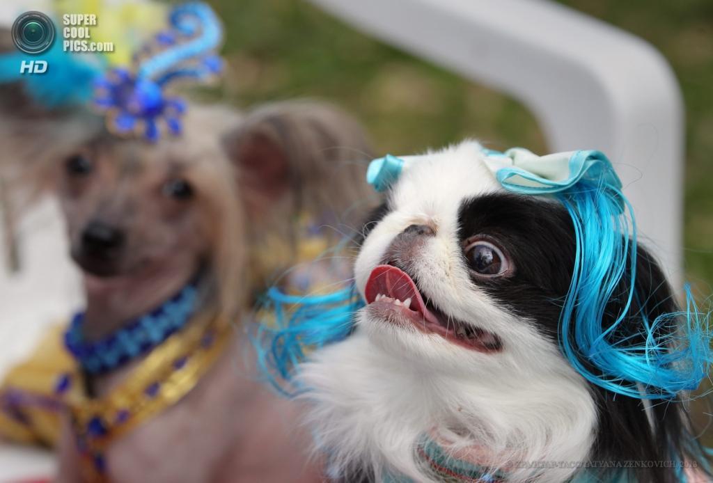 Белоруссия. Минск. 1 июня. Во время показа мод для собак. (EPA/ИТАР-ТАСС/TATYANA ZENKOVICH)