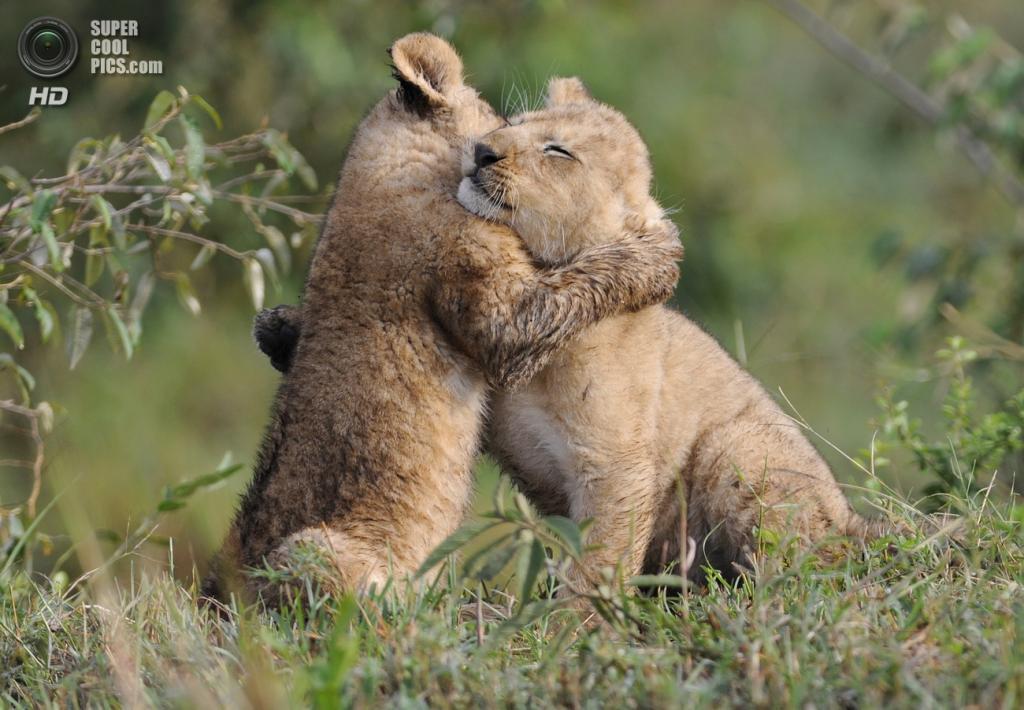 Львиная любовь. (RayMorris1)