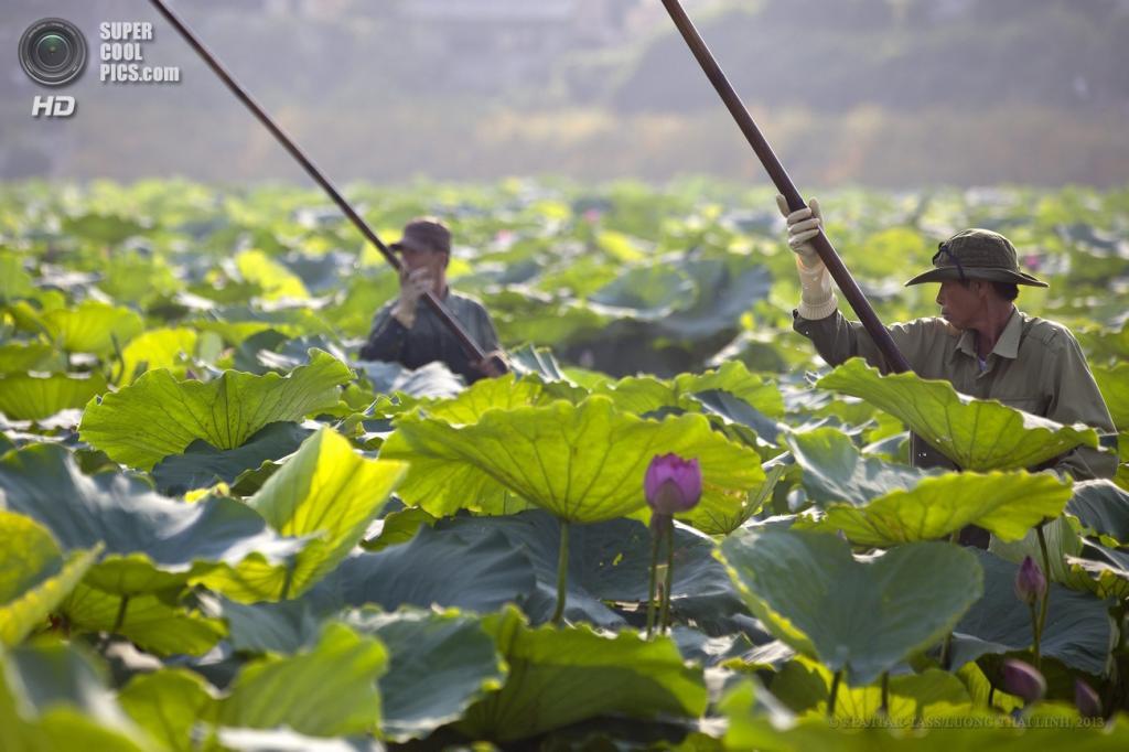 Вьетнам. Ханой. 13 июня. Во время сбора цветов лотоса. (EPA/ITAR-TASS/LUONG THAI LINH)
