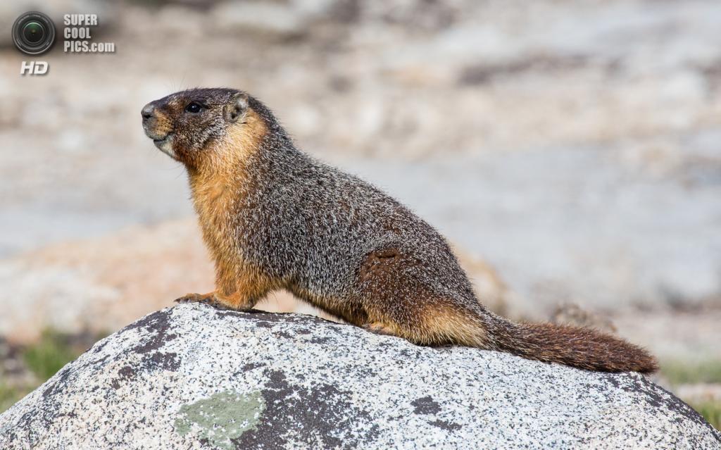 США. Калифорния. Желтобрюхий сурок в Национальном парке Йосемити. (Diliff)