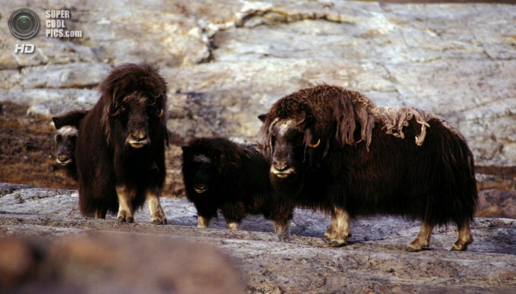 Овцебыки у фьорда Короля Оскара, Гренландия. (Hannes Grobe)