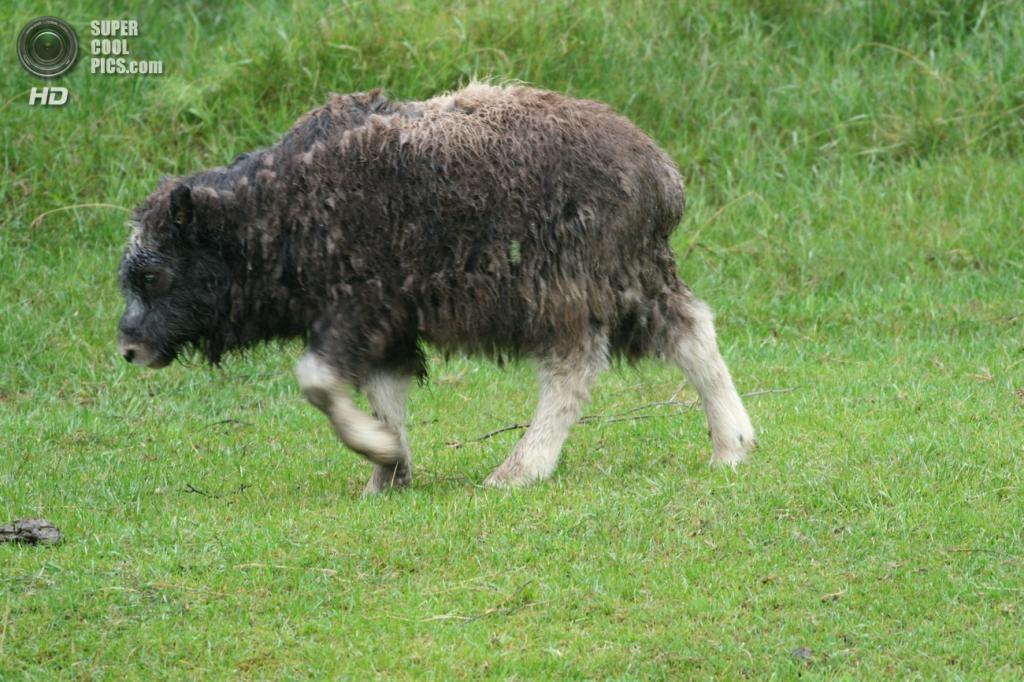 Телёнок овцебыка. (Arthur Chapman)
