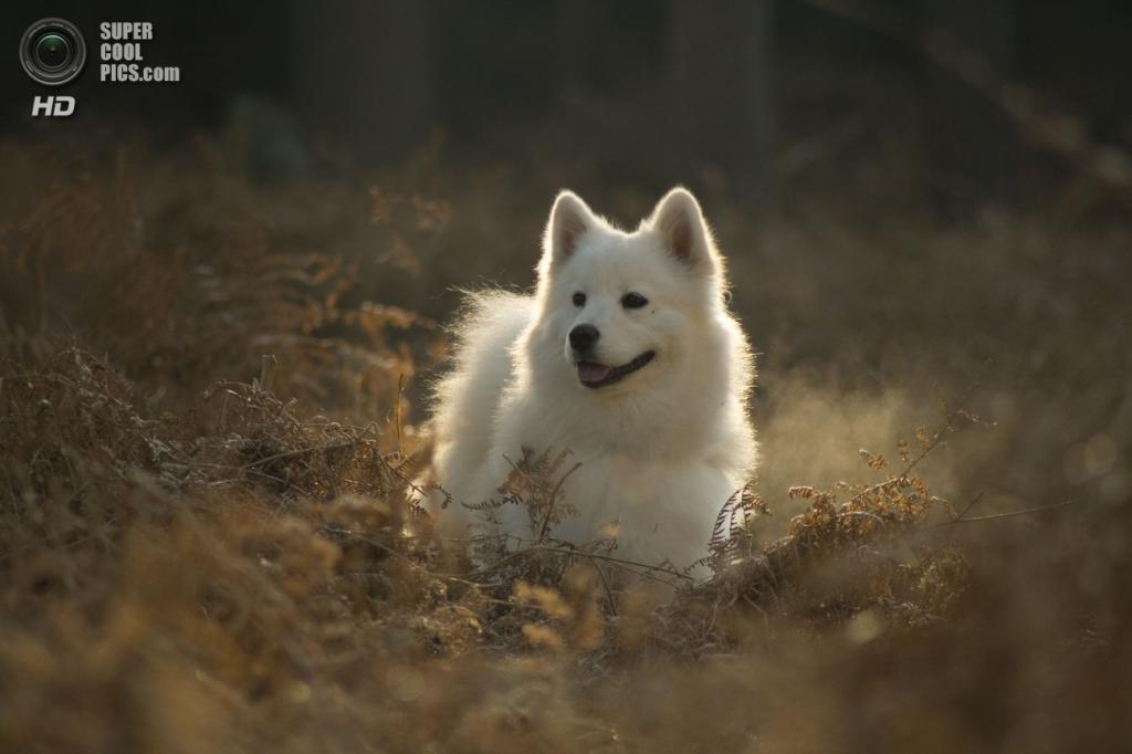 Самоедская собака. (Caninest)