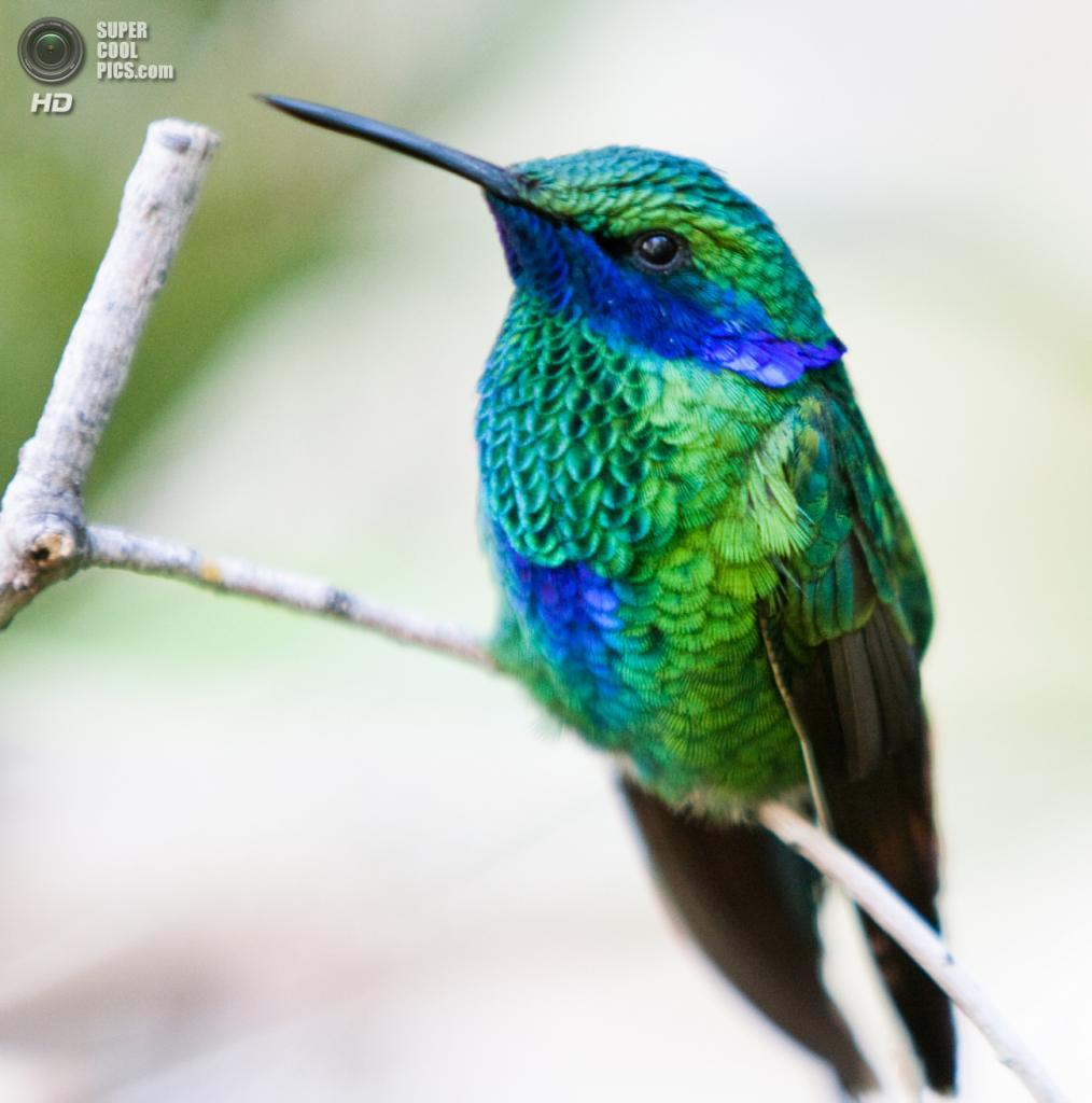 Сверкающий колибри. (San Diego Shooter)