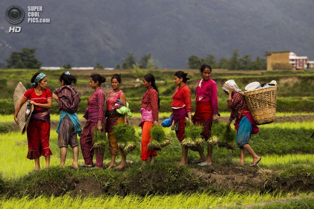 Непал. Катманду. 26 июня. Женщины несут саженцы риса. (EPA/ИТАР-ТАСС/NARENDRA SHRESTHA)