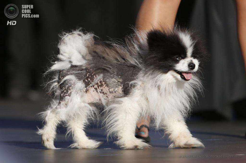 США. Петалума, Калифорния. 21 июня. Померанский шпиц по кличке Мэйзи Браун на юбилейном 25-м конкурсе уродливости World's Ugliest Dog Contest. (EPA/ИТАР-ТАСС/MONICA M. DAVEY)
