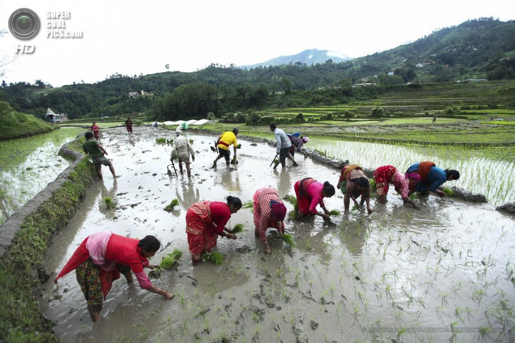 Непал. Катманду. 26 июня. Во время посадки риса. (EPA/ИТАР-ТАСС/NARENDRA SHRESTHA)