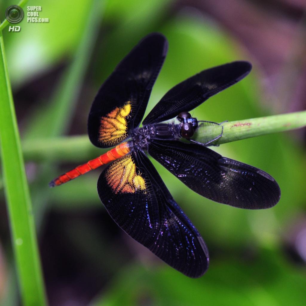 Стрекозы. (iris-G62)