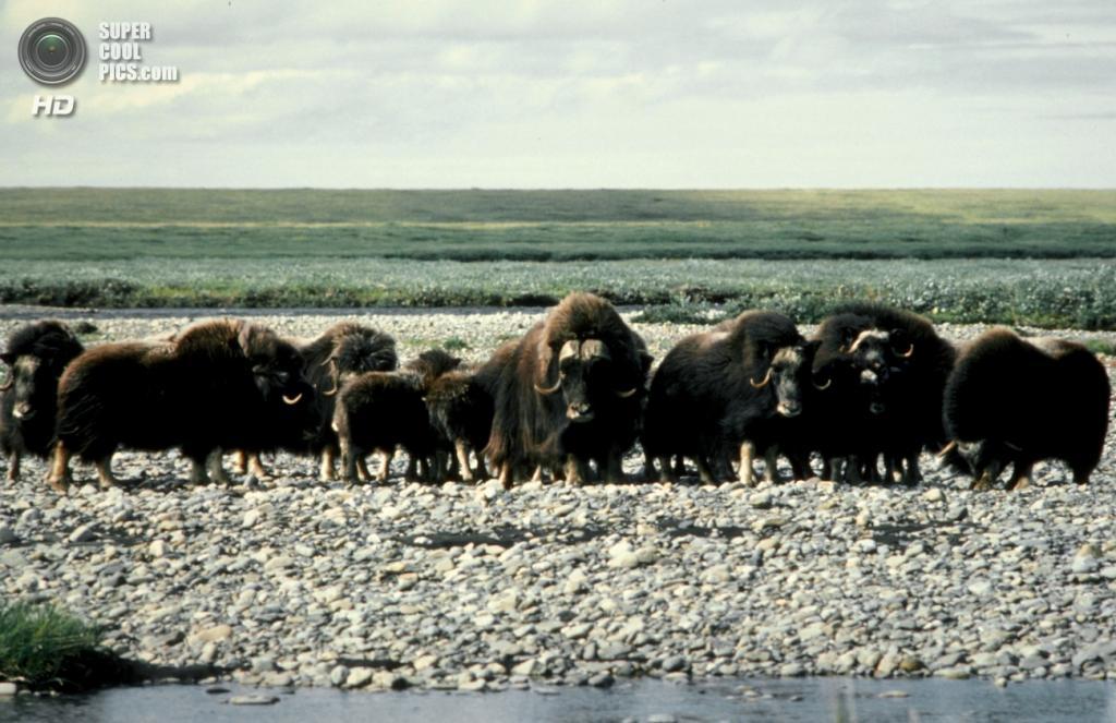 Стадо овцебыков. (USFWSAlaska)