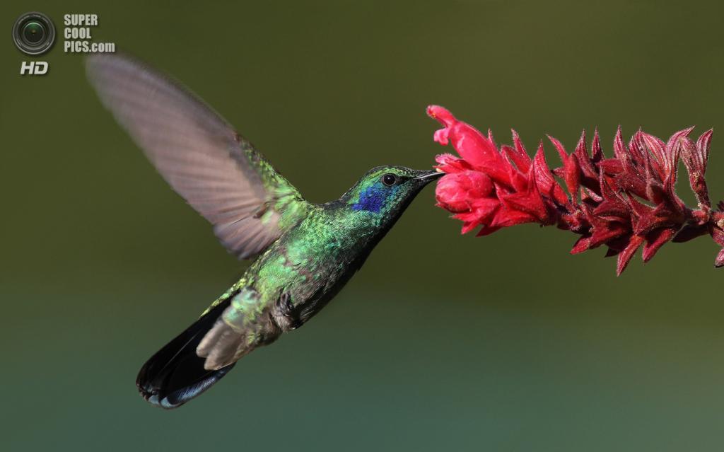 Крошечный колибри. (Mdf)