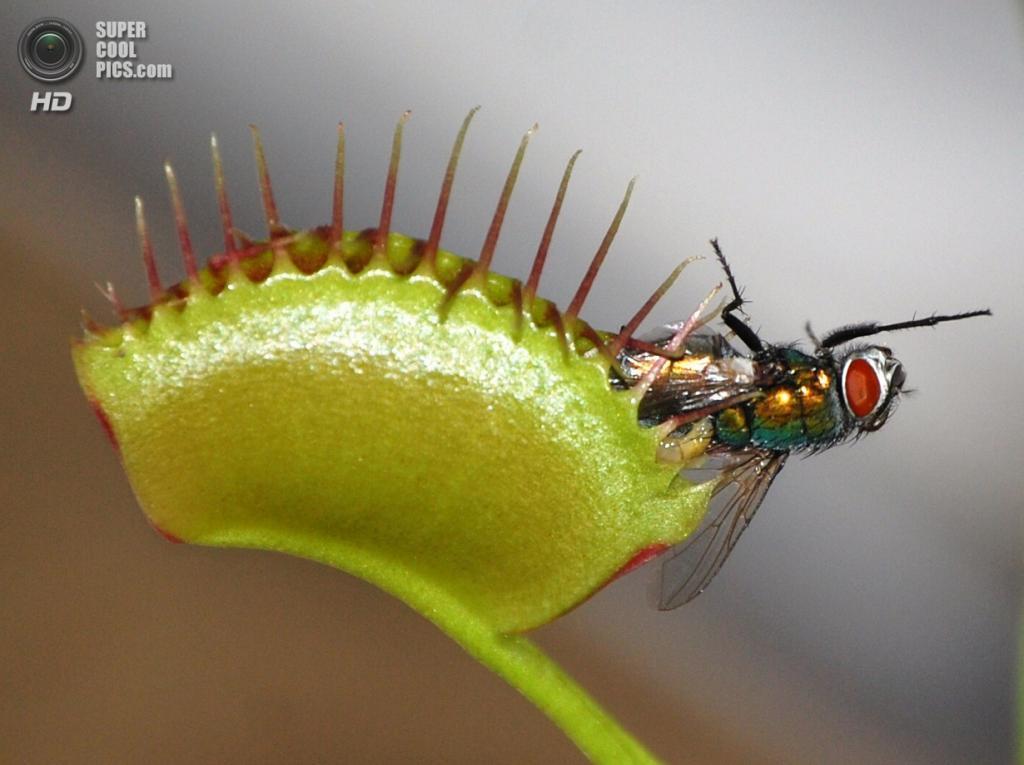 Венерина мухоловка из семейства росянковых. (mike stutz)