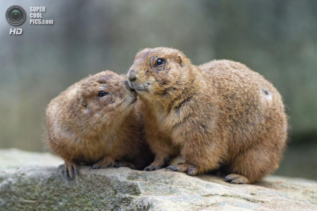 Всемирный день поцелуя. (Tambako The Jaguar)