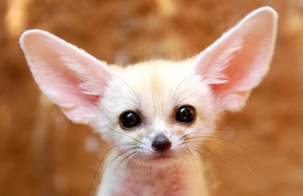 Фенеки: Уши Африки (12 фото)