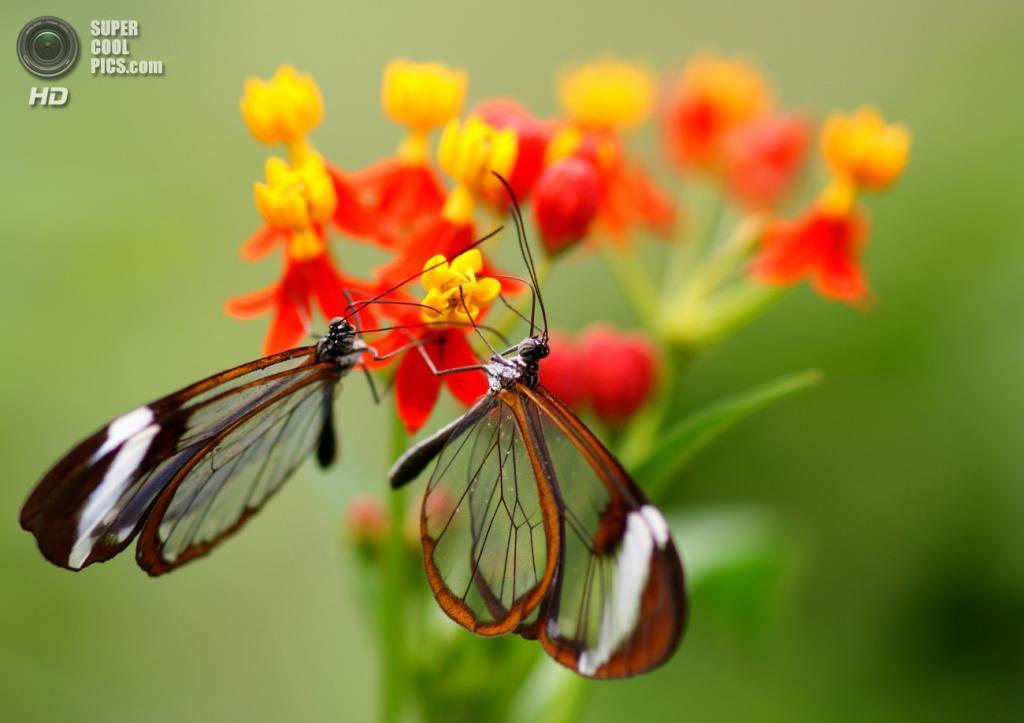 Грета ото, или стеклянная бабочка. (Sebastian)